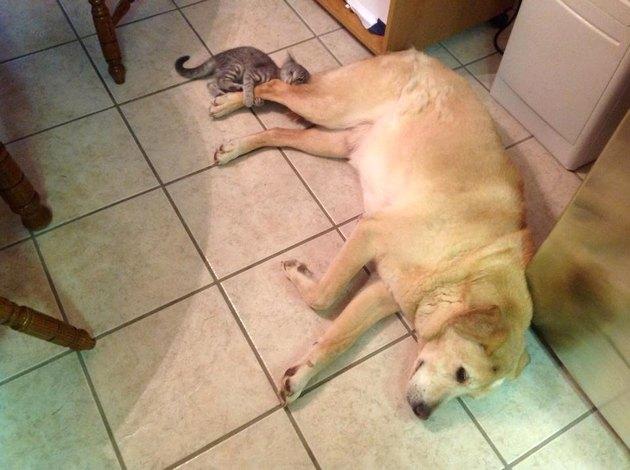 Kitten attacks back leg of unconcerned dog.