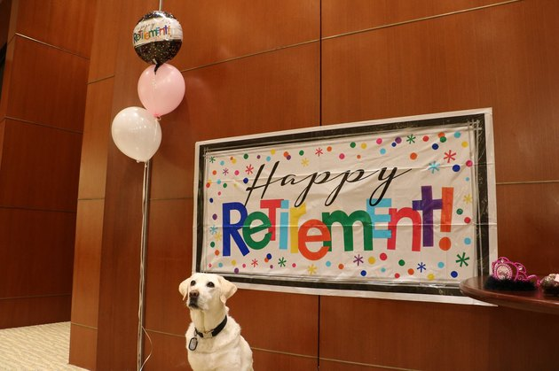 Airport service dog feted with epic retirement party
