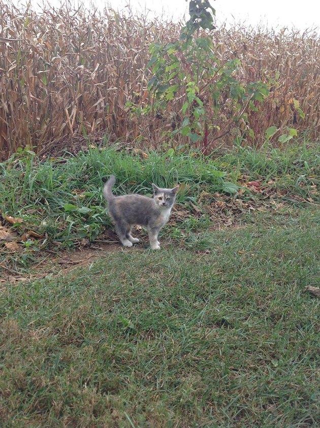 Cat in Cornfield