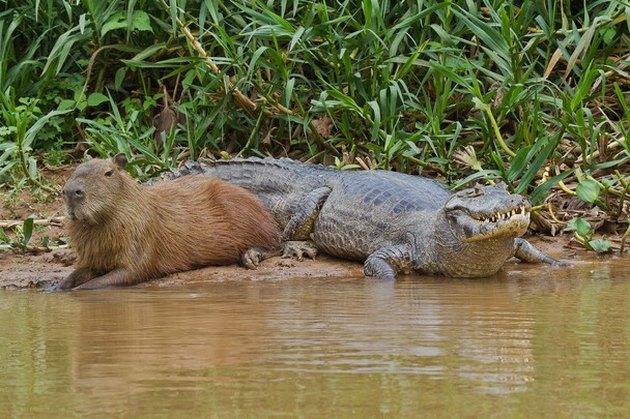 Capybara next to caiman.