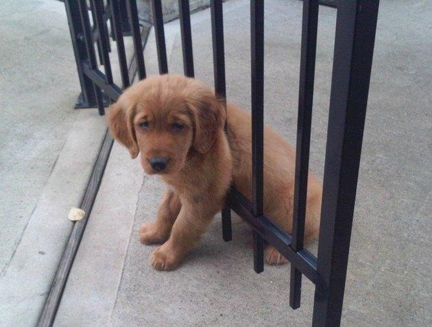 Puppy stuck between gate posts.