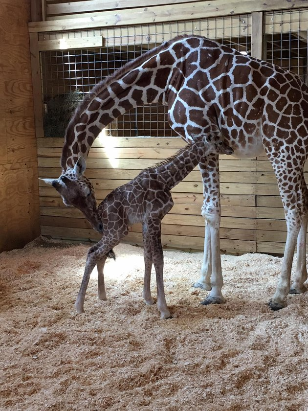 April the giraffe grooms her new calf