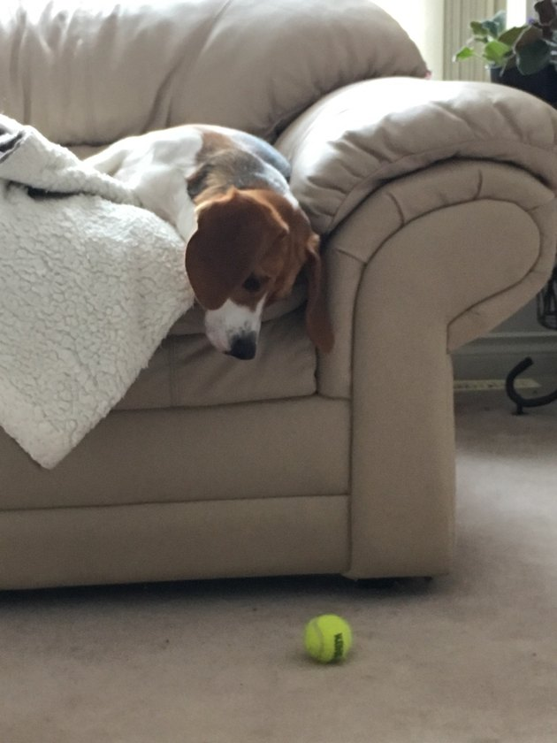 Dog on couch stares down at ball on floor