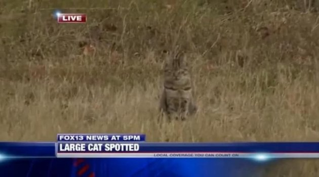 House cat confused for cougar crashes local news broadcast at the exact right moment