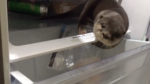 Hungry otter opens fridge, noms on fishy fishes