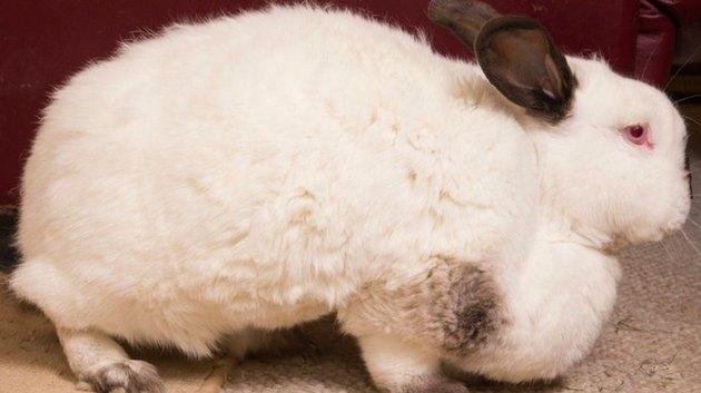 Chubby Bunny Put On Diet After Being Mistaken For A Dog