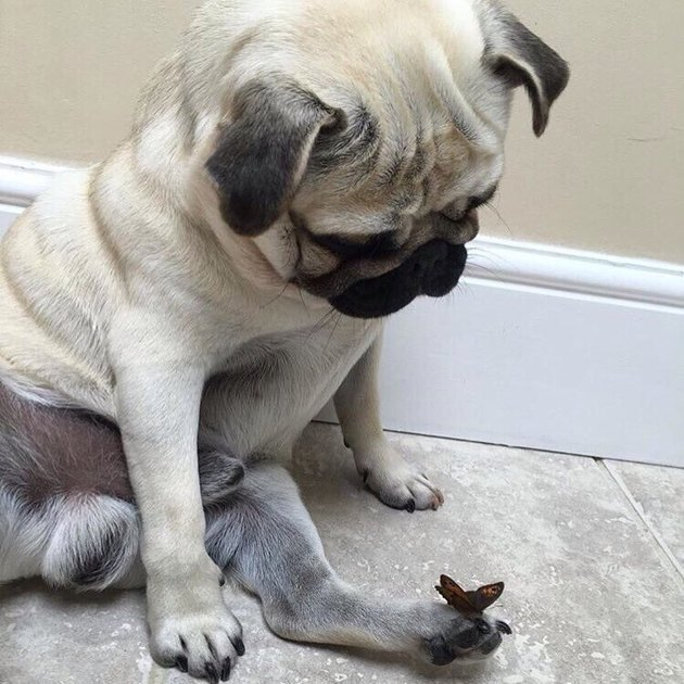 Dog looking down at butterfly perched on its paw.