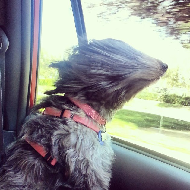 Dog in car window with hair covering its eyes.