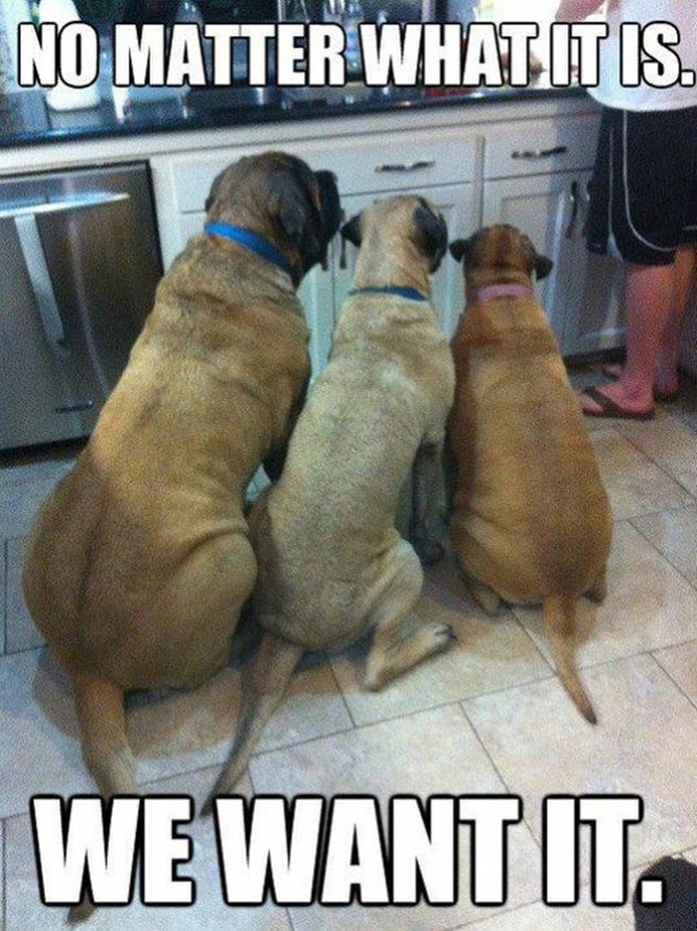 Three dogs watching a human at a kitchen counter