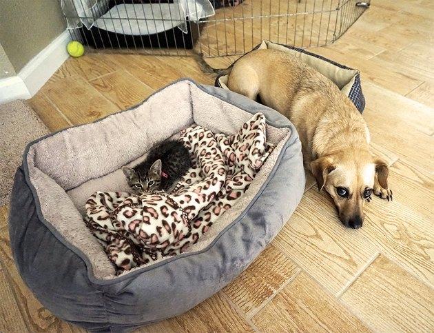 Kitten in big dog bed next to dog on hardwood floor.