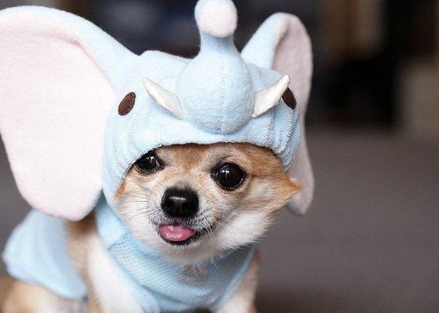 Chihuahua wearing an elephant costume