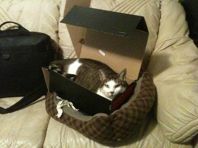 Cat in box in cat bed