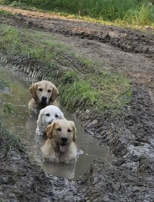 Three dogs sitting chest-deep in a mud puddle.