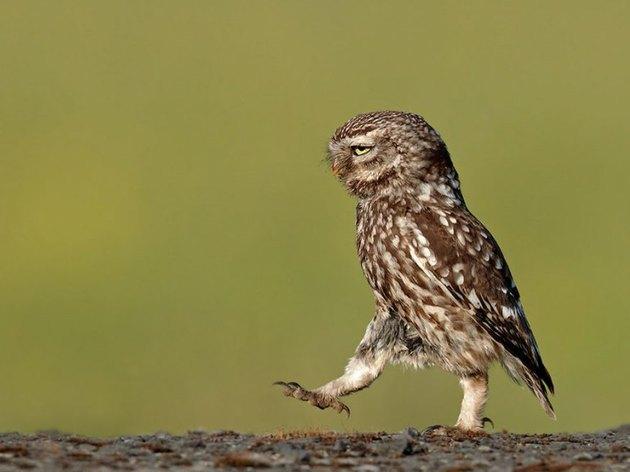 Gloomy Owl