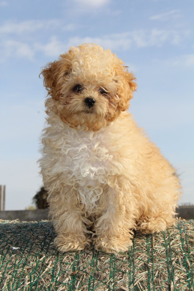 Fluffy white puppy Baxter