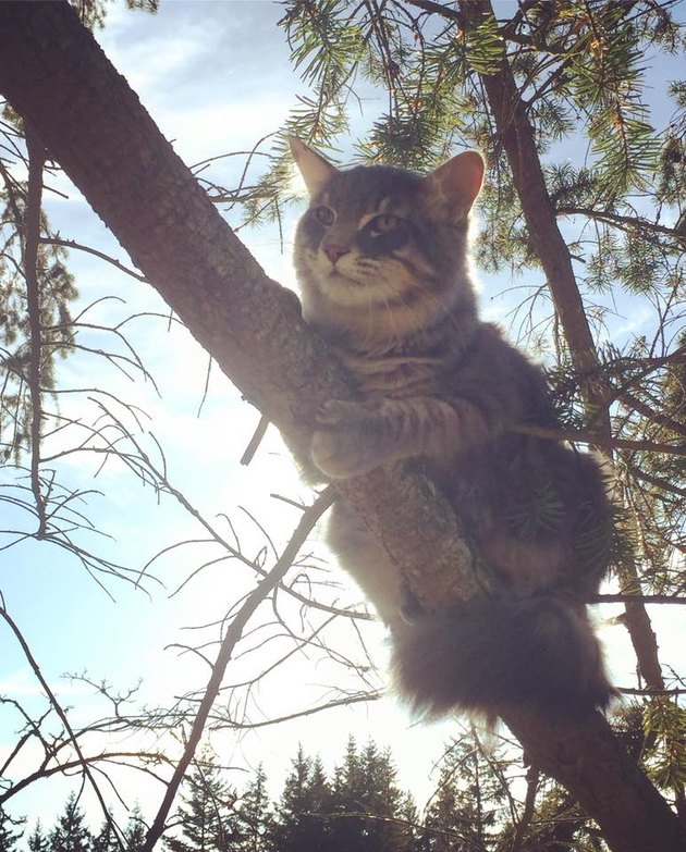 Striped cat in a pine tree