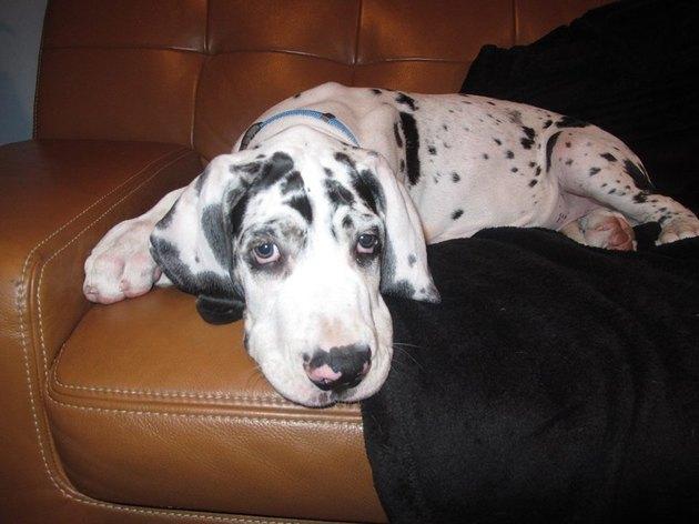 Tank as a puppy