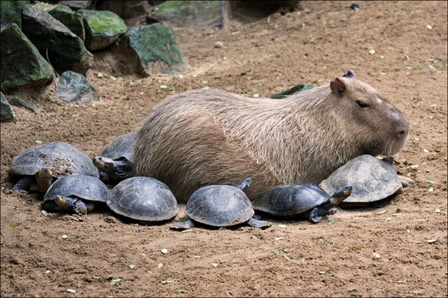 Capybara surrounded by turtles.