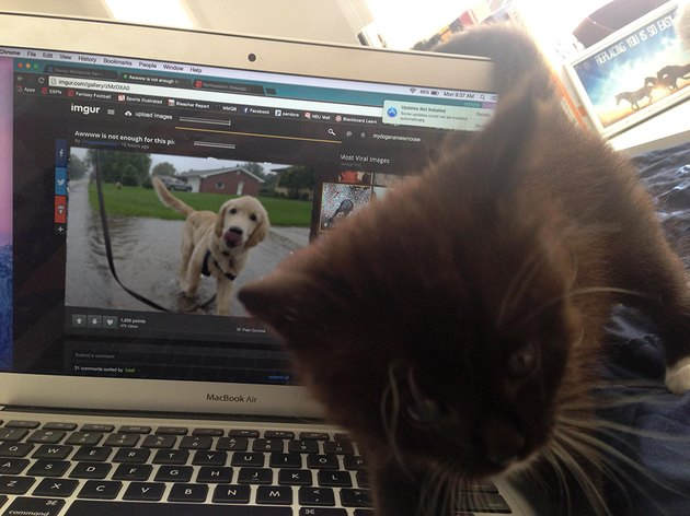 Kitten cutting between photographer and laptop displaying photo of dog.