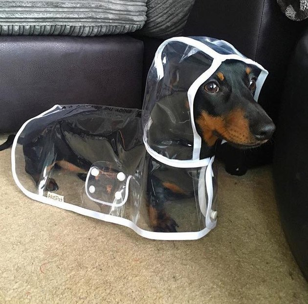 Dog in raincoat.