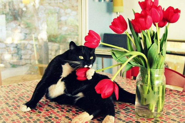 Cat poses with red tulips.