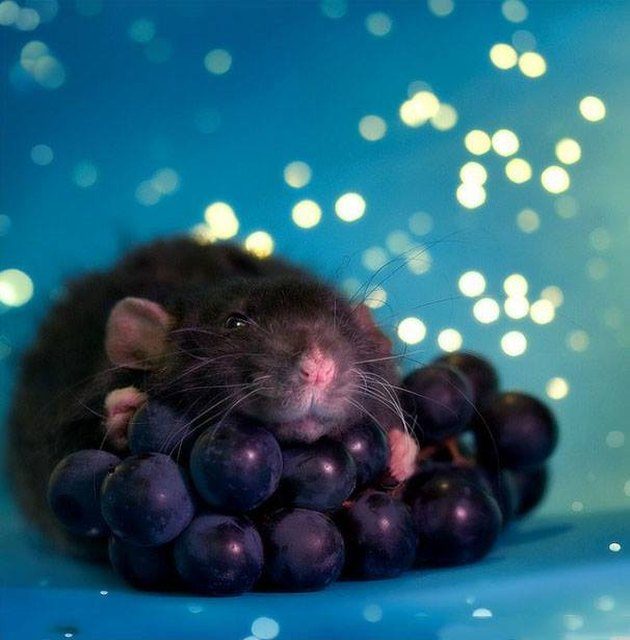 Rat with grapes
