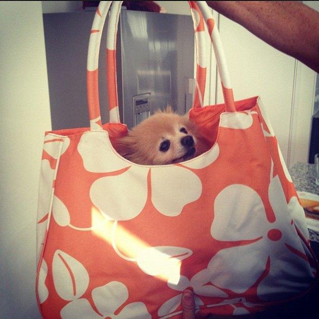 Dog in tote bag.