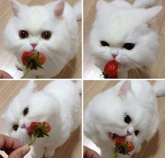 White cat eating a strawberry