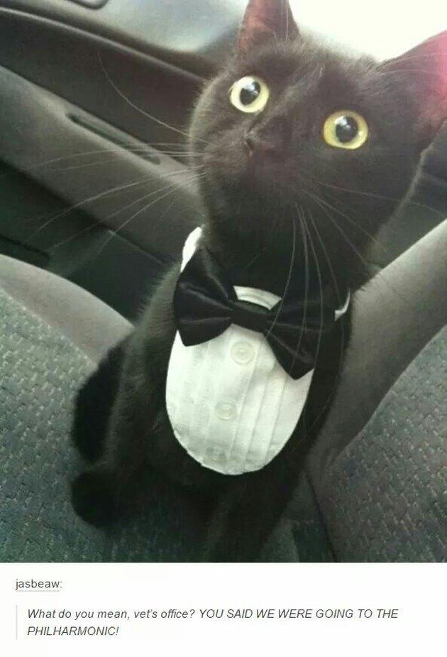 Cat in tuxedo.