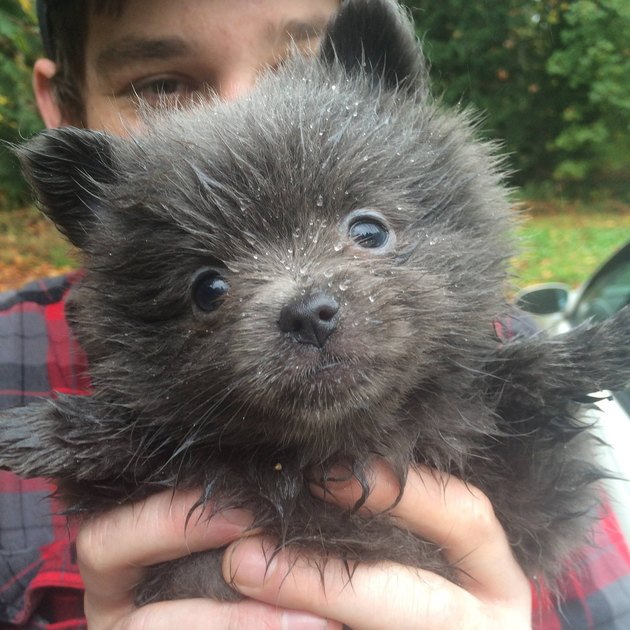 Puppy that looks like a bear