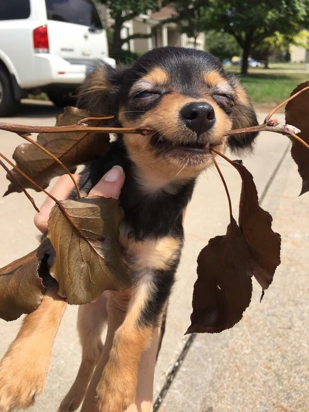 Puppy with stick with brown leaves on it