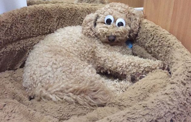 Fluffy brown dog with googly eyes on its head, laying on fluffy brown dog bed.