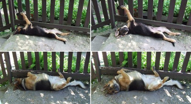 dog lying next to fence as a puppy and then as a grown dog