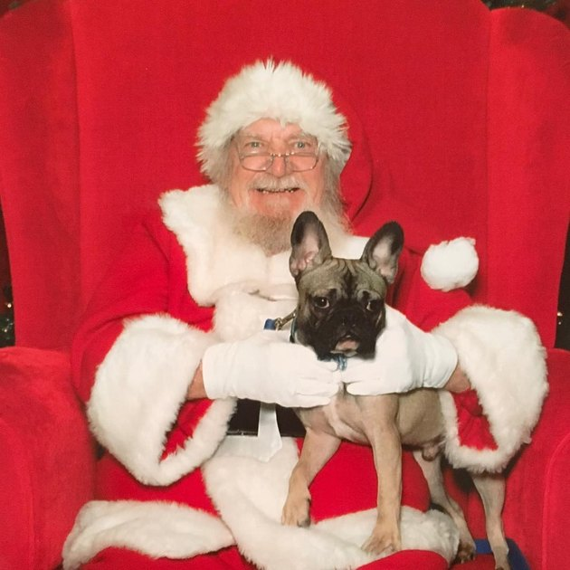 Unimpressed dog standing on Santa's lap.