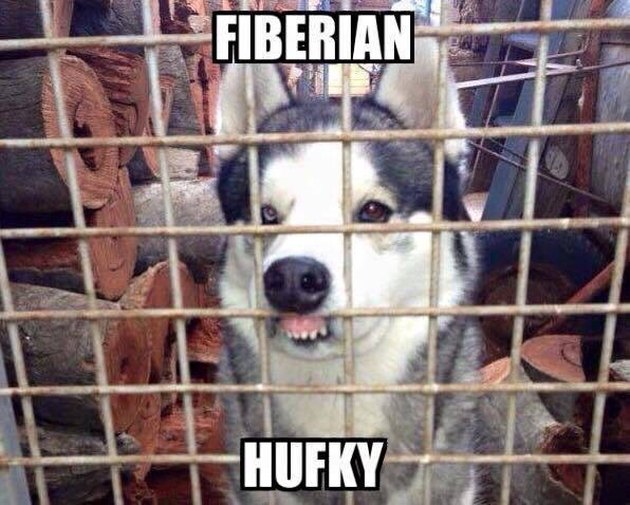 Husky with its upper lip pressed against fence. Caption: Fiberian Hufky