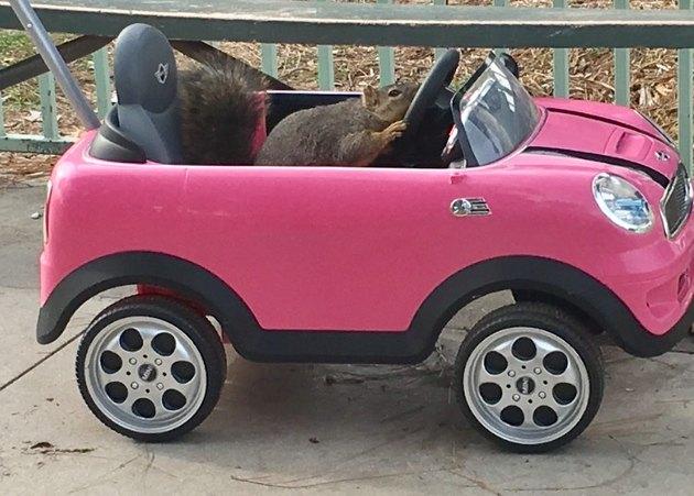 Squirrel in a kid-sized car.