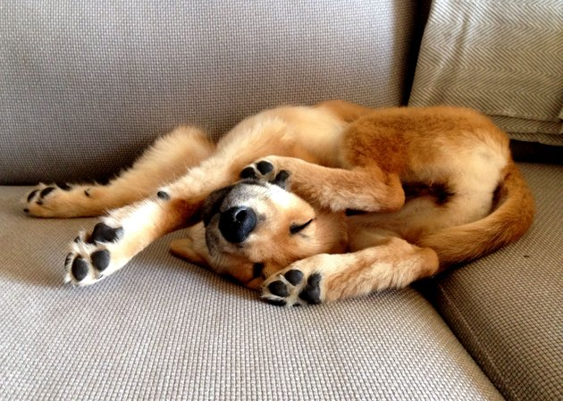 A dog on a couch has its legs and forelimbs in an awkward position.