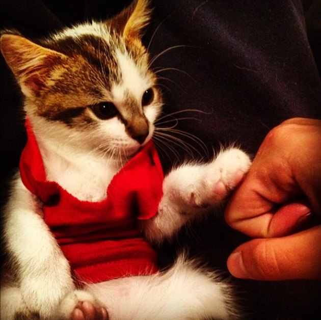 Kitten wearing tank top and fist-bumping a human.