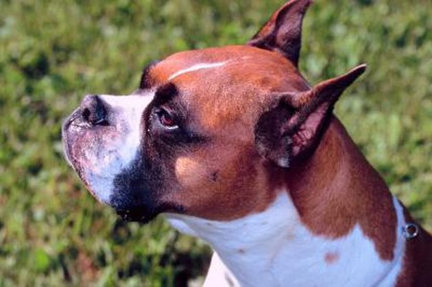 How to Mate Boxer Dogs
