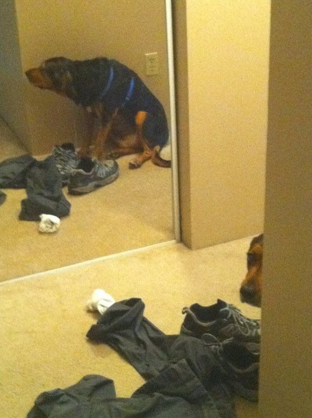 Dog hiding around corner, across from mirror that shows his reflection.