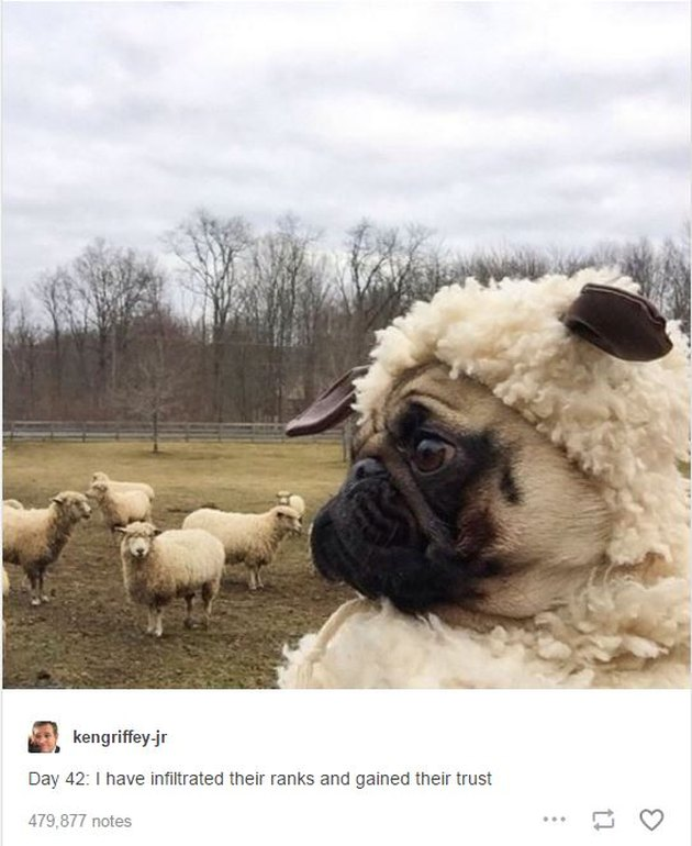 A pug dressed in a sheep costume looks at other sheep.