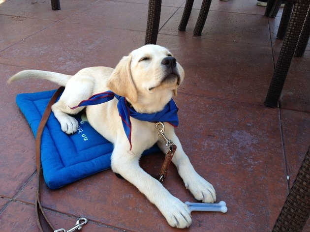Puppy being trained to be a seeing eye dog.