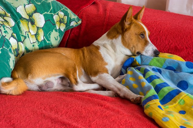 Dog on sofa with colorful blankets