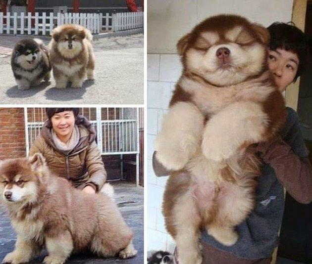 Chow Chow/Husky
