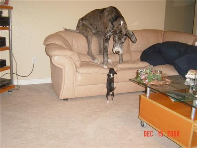 Great Dane is intimidated by small dog.