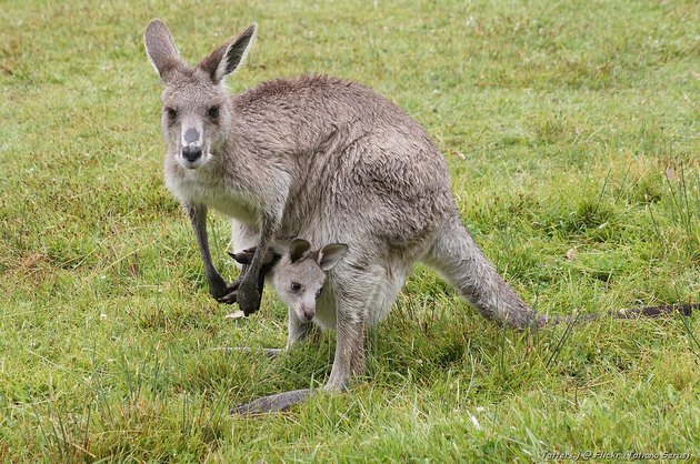 Kangaroo with joey in her pouch.