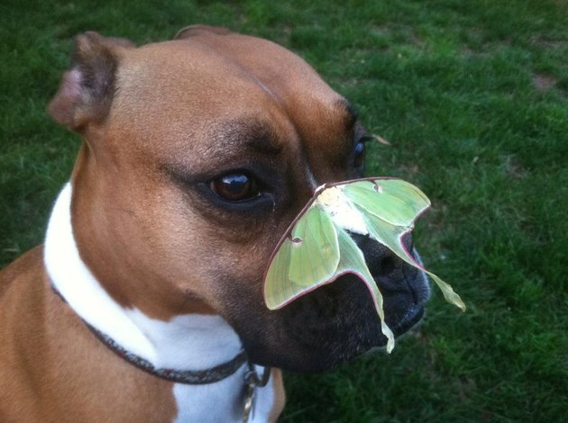 Large butterfly perched on dog's nose.