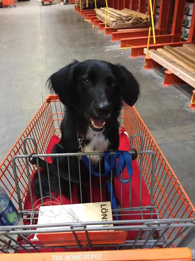 Border Collie Labrador Mix in shopping cart