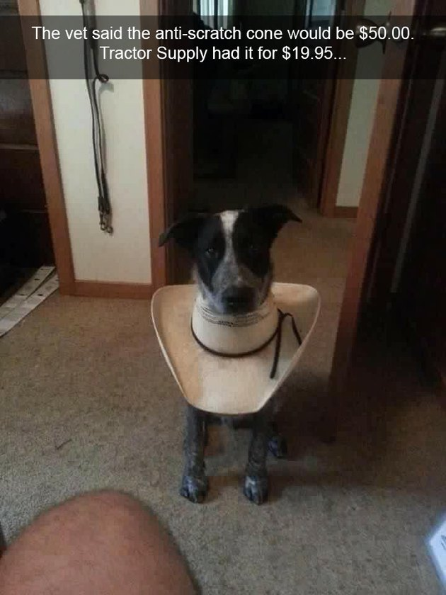Dog wearing a makeshift E-collar made out of a hat