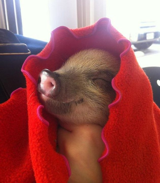 Piglet in a red blanket.